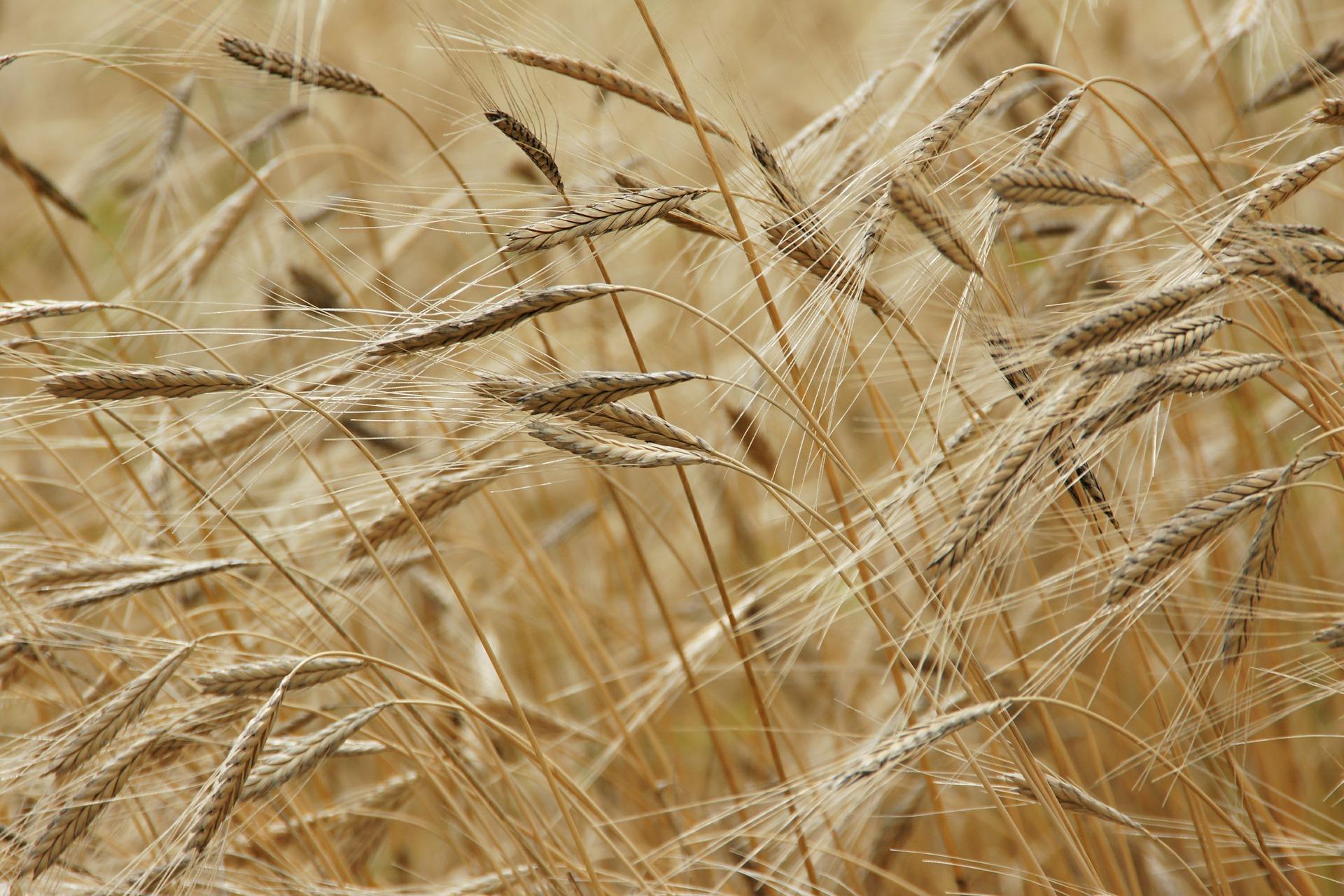 Nature, champ de blé © Pixabay CC0 - Kamelia