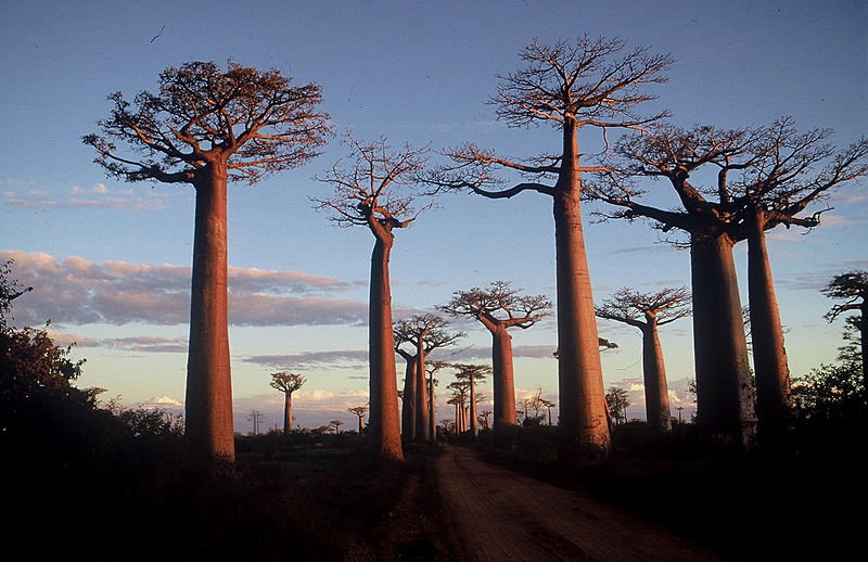 Madagascar, Morondava, la route des baobabs © wikimedia commons / Larre