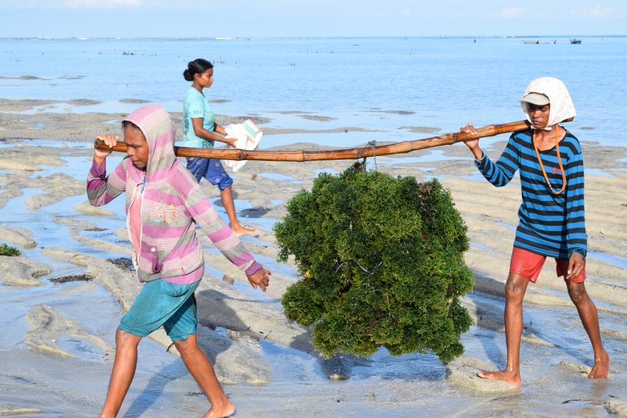 Récolte des algues, 2016, East Sumba, Indonésie @FAO - M. Ledo