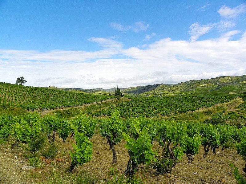Vignes, Villeneuve-les-Corbières (France) wikimedia commons, www.zoqy.net